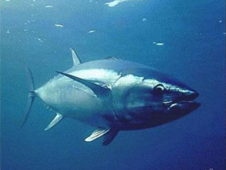 Tokyo Ocean University successfully transplanted tuna germ cells