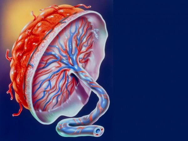 US human placenta program begins study on human placenta