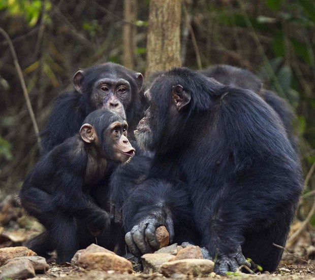 Human beings determine that the AIDS virus is from chimpanzees
