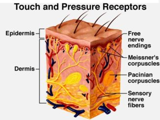 Touch and Pressure Receptors
