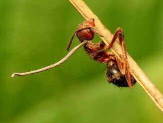 Zombie ant are controlled by Zombie fungus