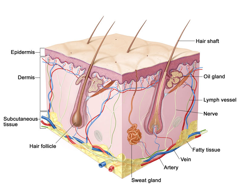 Skin dermis composition of the composition of a detailed explanation