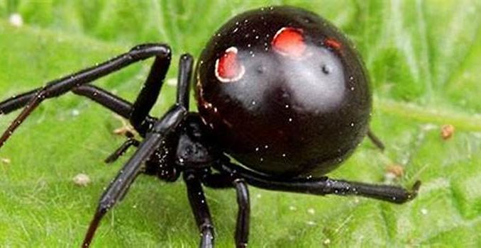 Black widow spider bite after person can't pee